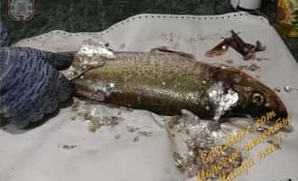 как вялить рыбу +в домашних условиях, вялено сушеная рыба, вялим рыбу правильно, как правильно вялить рыбу, вкусный карп
