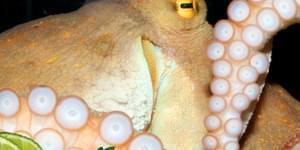 что приготовить из осьминогов