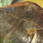 Морская рыба. Рыба камбала фото и видео