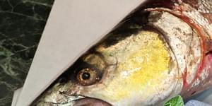 желтощек, желтощек рыба, желтощекая розелла, желтощек фото, амур желтощек, желтощек реальная рыбалка