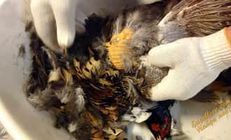фазанный, фазаны +в домашних условиях, разведение фазанов