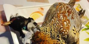 фазан фото, купить фазанов, фазан домашний, фазанный, фазаны +в домашних условиях, разведение фазанов, смотреть фазанов, охота +на фазана