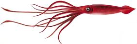 кальмар тушка гигант