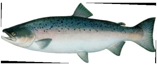 как выглядит лосось фото